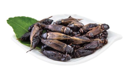 edible black crickets