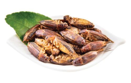 Edible Jamaican Crickets