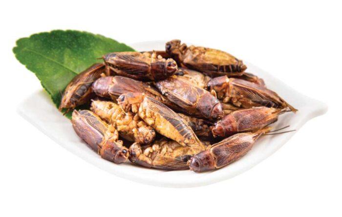 Edible Jamaican Crickets