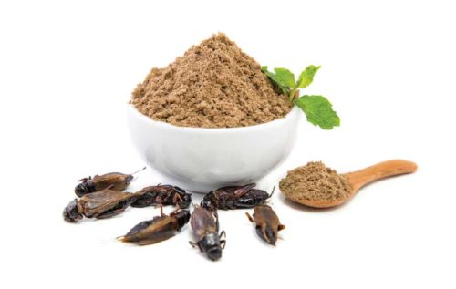 Gryllus black cricket powder